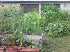 mid-July 2011 in what is now a driveway  TRAILER PARK GARDEN...INSPIRATION!!!