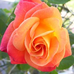 Climbing Rose 'Joseph's Coat' — Green Acres Nursery & Supply Nursery Supplies, Border Plants, Rose Pictures, Rare Flowers, Real Plants, Climbing Roses, Green Life, Shades Of Yellow, Pansies