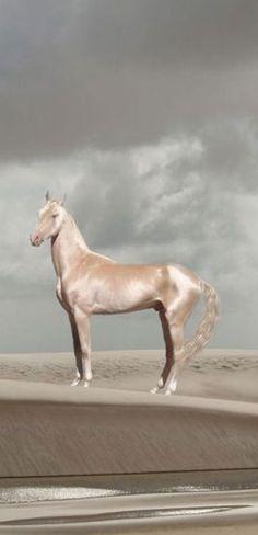 Akhal-Teke, cheval d'une grande beauté, originaire du Turkménistan, état d'Asie Centrale sur la mer Caspienne, capitale : Achgabat.