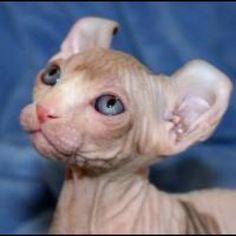A gorgeous breed. The Elf cat Beautiful Face Elf Cat, Rare Cat Breeds, Cat Character, Sphynx Cat, Kitty Kitty, Beautiful Cats, Beautiful Creatures, Cute Cats, Cute Babies