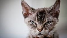 Aggressive pet cats can be a serious cause of concern for cat parents. Vets define aggression as threatening behavior towards other cats or humans. It's a very common problem. Angry Cat, Cat Treats, Animals Of The World, Letting Go, Kittens, Pet Cats, Let It Be, Pets, Fitness Bootcamp