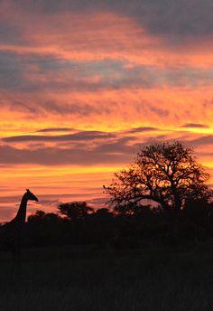 Botswana Giraffe sunset (Wil 5918)