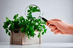 ***¿Cómo Cultivar Perejil?*** ¿Quieres saber cómo cultivar perejil? Entonces entra aquí y prepara tu cocina para que tenga siempre un toque extra de sabor y perfume....SIGUE LEYENDO EN..... http://comohacerpara.com/cultivar-perejil_12810h.html