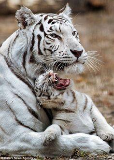 White lion cub. Warsaw zoo