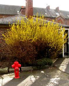 Early April is the height of Forsythia season here, along with the blossoms of other early season wildflowers and flowering trees.