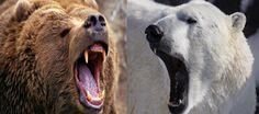 Kodiak bear vs Polar bear fight