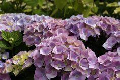 Hydrangea 'Berlin Blue' - Blue flowers from June - Sept. In 5 yrs 100 - Plant in half shade. Summer Flowers, Blue Flowers, Colorful Garden, Pavilion, Garden Furniture, Hydrangea, Berlin, June, Colour