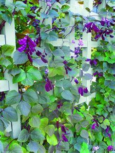 flowering vine plant
