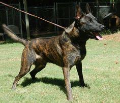 Brindle Holland Shepherd Dog Re Brindle GSDs?Brindle
