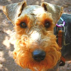 Welsh Terrier Dog Welsh Terrier, Airedale Terrier, Terrier Dogs, Fox Terriers, Scottish Terriers, I Love Dogs, Puppy Love, Cute Puppies, Cute Dogs