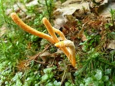 Photo de Champignon : Cordyceps militaire - Cordyceps militaris - Scarlet Caterpillarclub - Muscardine