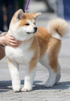 Akita puppy - #dog