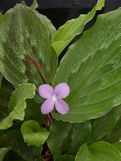 Kaempferia roscoeana, Peacock Ginger or Peacock plant, is an unusual and beautiful house plant or greenhouse subject. Planting Succulents, Garden Plants, Indoor Plants, House Plants, Flower Gardening, Ground Orchids, Peacock Plant, Ginger Plant, Lilac Bushes
