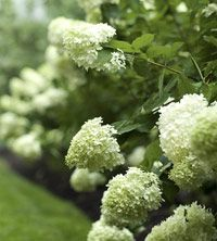When to prune hydrangeas and where to plant each variety.  via Better Homes and Gardens.
