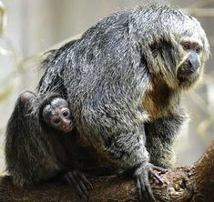 mother and baby grey saki