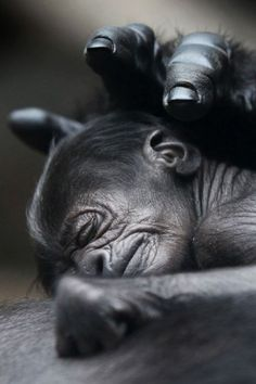 A Four day old gorilla sleeps on his mother's chest, after being born at Frankfurt Zoo | Photographer Fredrik Von Erichsen