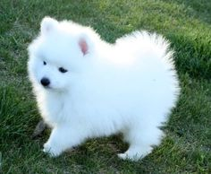 Japanese cute small puppy