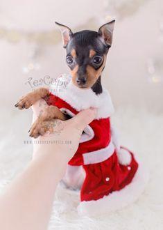 Christmas Min Pin Puppy by www.TeaCupsPuppies.com #minpin #miniaturepinscher #minipinscher #puppy #puppies #minpinpuppy