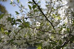 In this image, one can admire the blossoms of 'sour cherry'.