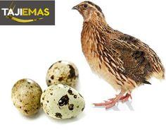 Manfaat Telur Puyuh Untuk Ayam Aduan.  #AyamAduan #AyamBangkok #AyamBangkokMuda #AgenSabungAyam #BandarSabungAyam #BandarJudiBola #AgenTogelOnline #AgenPokerOnline
