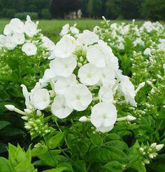 Höstflox Danielle (Phlox paniculata)  Vackra, krispigt vita blommor. Doftande. Lättodlad och har inga större krav på jorden. Trivs i full sol till halvskugga i näringsrik, fuktig men väldränerad jord. Blommar i juli-september. Härdig och kan odlas i stort sett i hela landet. Höjd ca 60 cm.