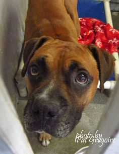 SAFE --- A4879068 I am a friendly 2 y rold male red Boxer mix. I came to the shelter as a stray on Sept 18. available 9/23/15 NOTE: Pit bulls are not kept as long as others so those dogs are always urgent!!  Baldwin Park shelter https://www.facebook.com/photo.php?fbid=1036481616363675&set=a.705235432821630&type=3&theater