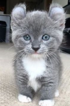 American Curl kitten, adorable  blue eyes and the ears ! ~