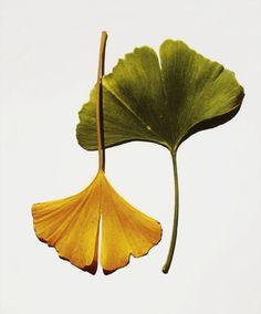 Ginkgo leaves, Irving Penn