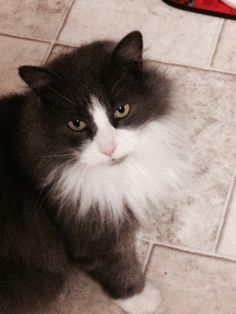 Porthos Cat | Pawshake