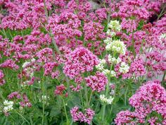 """Jupiter's Beard, Centranthus ruber.  Full to Part Sun.  Height 24-36""""  Space 20"""".  Fragrant flowers bloom over a long season.  Remove faded flowers to encourage rebloom.  Does well in poor, dry soils.  Zones 5-9"""