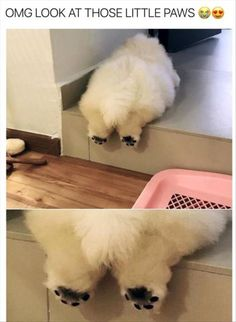 Funny animals  Puffie the Chow! Follow him on fb and IG
