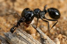 Two ants fighting  #animal #ants #fighting #photography