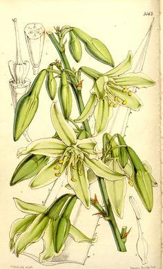 v.86 [ser.3:v.16] (1860) - Curtis's botanical magazine. - Biodiversity Heritage Library