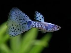 Image result for Grey Cherry Pink Grass guppy
