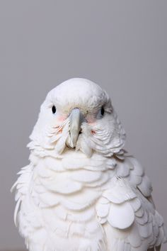 If you HAVE to have a Cockatoo, consider this one (Goffin). They are the sweetest and least noisiest of the Cockatoo family. Pretty Birds, Love Birds, Beautiful Birds, Animals Beautiful, Cute Animals, Wild Animals, Regard Animal, Tier Fotos, Exotic Birds