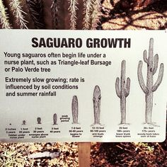 Ever wondered about the ages of our saguaros? #myphx