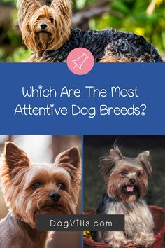 Are you wondering which the most attentive dog breeds are?    You might if you're looking for a dog that's loyal, friendly, and easy to train. Therapy Dog Training, Therapy Dogs, Dog Training Tips, All About Puppies, Emotional Support Animal, St Bernard Dogs, Most Popular Dog Breeds, Herding Dogs, Fluffy Dogs