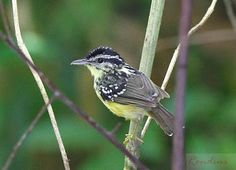 cantador-galego_Hypocnemis subflava_Brazilian Birds