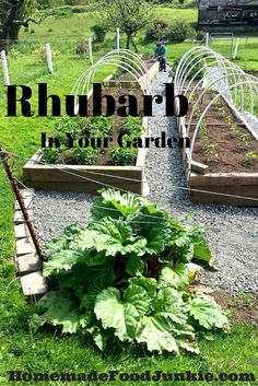 Rhubarb In Your Garden Why you should Grow and how! By HomemadeFoodJunkie.com