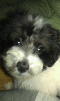 "My maltipoo ""Tommy"" #maltipoo #dogs #cute"