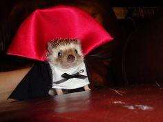 Vampire Hedgehog @Tiffani Hughes..thought you'd like this little guy.