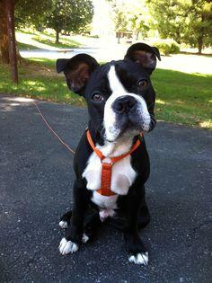 Say what?! | Boston Terrier Friendzy