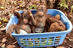 Sixteen baby orangutans are being cared for at the Nyaru Menteng centre in Kalimantan after suffering infections from prolonged exposure to the thick, yellow smoke suffocating Indonesia's half of Borneo Island