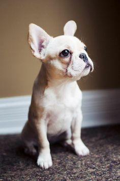 French Bulldogs. Cutie patootie