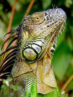 Iguana by Sandra Villarroel - http://www.rainforest-alliance.org/multimedia/photo-contest-winners2013