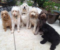 www.DoodlesandDoodles.com with Zoey (LD), Heidi (GD), Teddy (LB), Sydney (GD), Rocky (Poodle stud), and Harley (LB).  LB=Labradoodle and GD=Goldendoodle