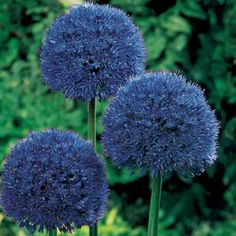 Bulbs Persian Blue Allium - Perennial allium bulbs - but should be planted in the fall, as with most hardy bulbs. Allium Flowers, Shade Flowers, Bulb Flowers, Planting Flowers, Blue Plants, Fall Plants, Blue Garden, Autumn Garden, Unique Flowers