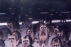 Night of the Living Raccoons. (You really understand this when you wake to find raccoons have come into the house through the cat door!)