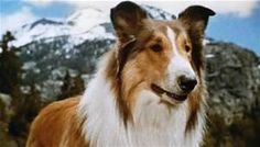 lassie - LinuxMint Yahoo Image Search Results