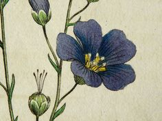 1792 Antique botanical copper engraving of a flowering plant: BLUE FLAX. Perennial Flax. Blue flowers. 220 years old print..  via Etsy.